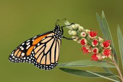 Monarch butterfly on red flower Royalty Free Stock Photos