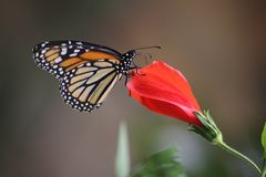 Monarch butterfly on red flower. Close up of a Monarch butterfly perched on the tip of a closed red flower royalty free stock image
