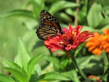 Monarch Butterfly on Red Flower royalty free stock image