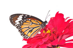 Monarch butterfly. On a red flower on white background royalty free stock photos