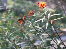 Monarch butterfly on red flowers. Monarch butterfly pollinating red and yellow flowers and blurred green background stock image