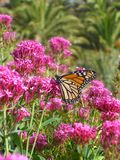 Monarch butterfly on red valerian. Monarch butterfly & x28;Danaus plexippus& x29; on red valerian & x28;Centranthus ruber& x29; at La Gomera, Canaries, Spain royalty free stock photography