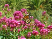 Monarch butterfly on red valerian. Monarch butterfly & x28;Danaus plexippus& x29; on red valerian & x28;Centranthus ruber& x29; at La Gomera, Canaries, Spain stock images