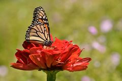 Monarch butterfly on red zinnia Colbourne Lodge garden High Park Royalty Free Stock Photos