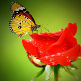 Monarch butterfly on reds roses Stock Images