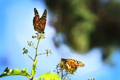 Monarch Butterfly with reed of grass. And green environment background stock image