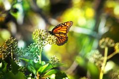 Monarch Butterfly with reed of grass. And green environment background royalty free stock photo