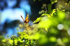 Monarch Butterfly with reed of grass stock images