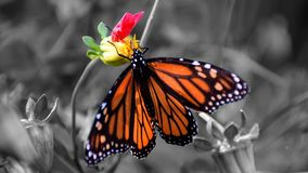 Monarch Butterfly refueling for migration royalty free stock photos