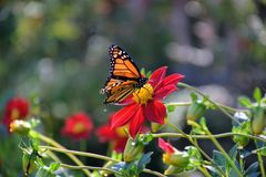 Monarch Butterfly refueling for migration royalty free stock photo