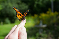 Monarch Butterfly Release. Releasing a Monarch Butterfly after it emerged from its chrysalis Stock Photography