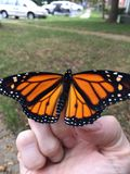 Monarch butterfly release from. Releasing monarch butterfly into wild, perched on stock photo