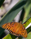 Monarch butterfly at rest on a plant leaf. Stock Images