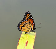 Monarch Butterfly. At rest on a water reed leaf Stock Images