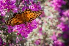 Gulf Fritillary Butterfly royalty free stock photo