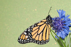 Monarch butterfly resting on a blue Cornflower Royalty Free Stock Images