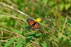 Monarch Butterfly resting on branch Royalty Free Stock Photography