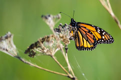 Monarch Butterfly Resting on a Dried Desert Flower Stock Image