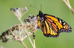 Monarch Butterfly Resting on a Dried Desert Flower Stock Photos