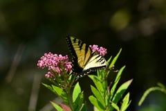 Monarch Butterfly resting on flower. Monarch butterfly resting on a pink flower Stock Images