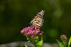 Monarch Butterfly resting on flower. Monarch butterfly resting on a pink flower Royalty Free Stock Photo
