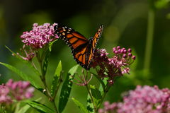Monarch Butterfly resting on flower. Monarch Butterfly resting on pink kolancho flower royalty free stock image