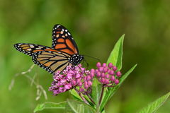 Monarch Butterfly resting on flower. Monarch Butterfly resting on pink kolancho flower Royalty Free Stock Photography