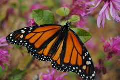 Monarch Butterfly on flower spreading wings royalty free stock photography