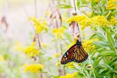 Beautiful Monarch Butterfly with yellow flowers. Monarch butterfly resting on a goldenrod plume royalty free stock photography