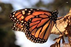 Monarch Butterfly Resting on a Leaf Royalty Free Stock Photo