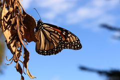 Monarch Butterfly Resting on a Leaf. A Monarch butterfly rests on a dry leaf Stock Photography