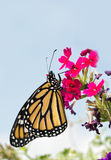 Monarch butterfly resting on magenta flowers Royalty Free Stock Image