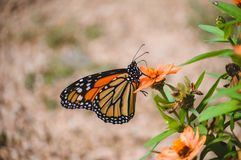 Monarch butterfly on orange colored flower Stock Images