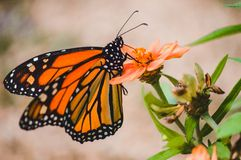 Monarch butterfly resting on orange colored flower Stock Photos