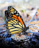 Monarch Butterfly Resting on a Pinecone. A monarch butterfly or milkweed butterfly resting on a pinecone on the ground royalty free stock images