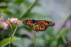 Monarch butterfly on a plant. Monarch butterfly resting on a plant royalty free stock photo
