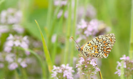 Monarch butterfly resting Stock Images