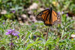 Monarch butterfly resting on a purple verbena wildflower. Surrounded by green royalty free stock photos