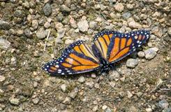 Monarch butterfly resting in the rocky garden path. A beautiful monarch butterfly rests on the path in a little garden stock image