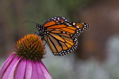 Monarch. Butterfly resting on single flower Royalty Free Stock Images