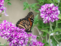 Monarch Butterfly Resting on Verbena Blooms Stock Photography