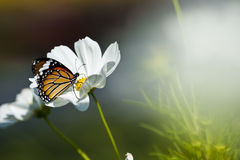 Monarch butterfly resting on a white flower. A Monarch butterfly resting on a white flower royalty free stock photo