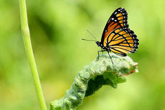 Monarch. A monarch butterfly rests on a leaf Stock Photos