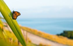 Monarch Butterfly Rests Momentarily On Dew Laden Flax Leaf Stock Photo
