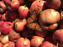 A monarch butterfly rests on rotting apples Royalty Free Stock Images