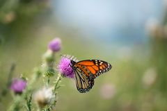 A monarch butterfly rests on a thistle. A close-up shot of a monarch butterfly resting on a thistle plant stock photo