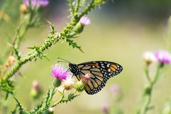 A monarch butterfly rests among thistle plants. A close-up shot of a monarch butterfly resting among thistle plants stock images