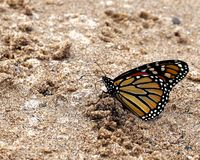 Monarch Butterfly in the Sand. On the day of this photo about 40 monarch butterflies appeared on the beach and landed in the sand. Resting? Drying their wings royalty free stock photography