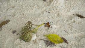 Monarch butterfly on sandy beach stock footage