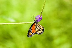 The Monarch butterfly Royalty Free Stock Image